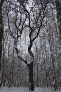 Dižkoks - mežābele
