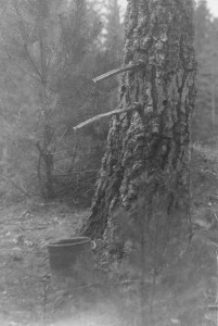 Bērzu sulu tecināšana. 20. gs. sākums. Foto no Turaidas muzejrezervāta krājuma. TMR 20036