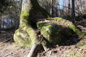 Snaudošais akmens Turaidā